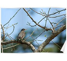 American Robin on a Beautiful March Day Poster