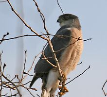 Sharp Shinned Hawk by lloydsjourney