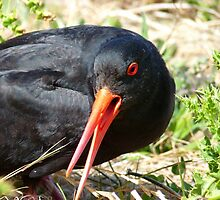 I Mean Business... - Oyster Catcher - NZ by AndreaEL