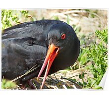 I Mean Business... - Oyster Catcher - NZ Poster