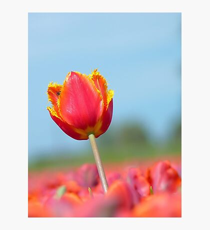 Eternal Life... - Tulip - NZ Photographic Print