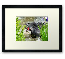 Warning.... Do Not Disturb A Mother In Waiting!! - Black Swan - NZ Framed Print