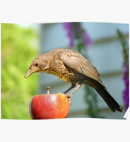 I'm Not In The Mood To Share This One!! - Juvenile Blackbird - NZ Poster