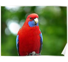 We Can Be Nomadic At Times - Crimson Rosella - NZ Poster