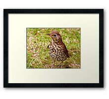Where's The Best Place To Find Worms In A Drought? - Song Thrush - NZ Framed Print