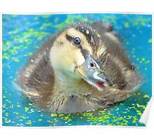 Oh Come On In... Join Me!!! - Mallard Duckling - NZ Poster