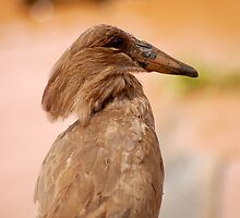 THE HAMMERHEAD BIRD by Magaret Meintjes