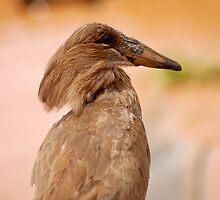 THE HAMMERHEAD BIRD by Magriet Meintjes