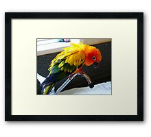 Hey Isn't This Supposed To Be Water On Tap.. Sunconure - NZ Framed Print