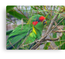 Could I Win A Beauty Contest? - Musk Lorikeet - NZ Canvas Print