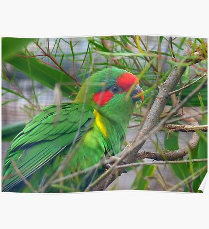 Could I Win A Beauty Contest? - Musk Lorikeet - NZ Poster