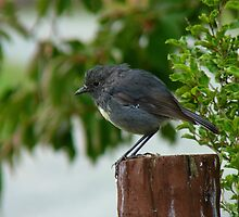 Are You Going To Disturbed Some Invertebrates For Me? - South-Island Robin - NZ by AndreaEL