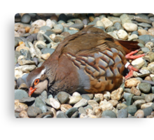 "Did You Not See The ""Do NOT Disturb Sign?""!! - Partridge - NZ Canvas Print"