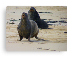You Go Girl..!!! - Rare Sea Lions - NZ Canvas Print