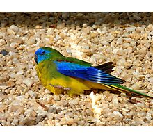 Humans Are Not The Only Ones To Sunbathe - Scarlet-Chested Parrot - NZ Photographic Print
