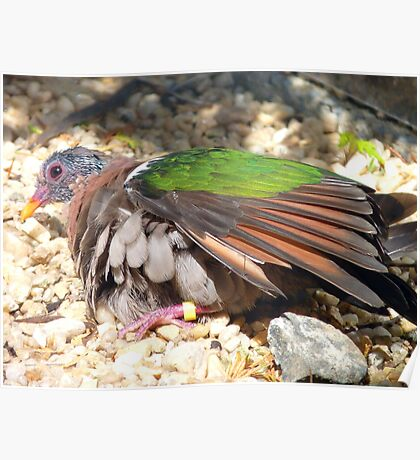I Gotta Catch The Sun Rays! - Green Wing Dove - Otago - NZ Poster