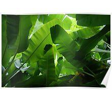 Banana Palm canopy Poster