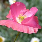 Candy Pop - Pink Poppy - Otago - NZ by AndreaEL