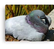 Eeesh!!  I Don't Think My Eyes Will Stay Open Much Longer!!! - Pigeon - NZ Canvas Print