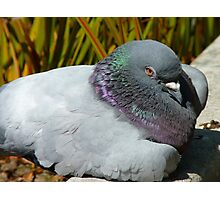 Eeesh!!  I Don't Think My Eyes Will Stay Open Much Longer!!! - Pigeon - NZ Photographic Print