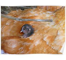 I Love Grandma's Feather Bed!!! - Chick - NZ Poster