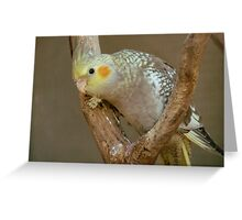 Haven't I Seen You Here Before?  - Cockatiel - NZ Greeting Card