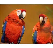 We're A Ravishing Pair... Scarlet Macaws - Otago Photographic Print