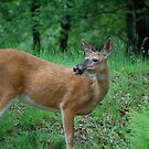 Spring Doe by Imagery