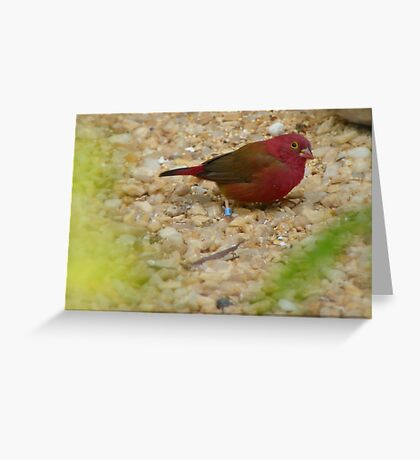I'm The Red Factor Type!!! - Red Bronze Canary - NZ Greeting Card