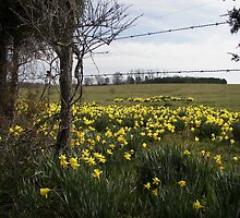 daffodill fields forever.. by budrfli