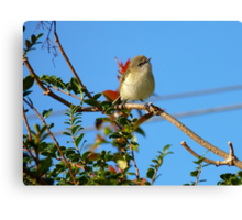 Today Is Your Lucky Day!!! - Grey Warbler - NZ Canvas Print