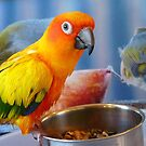 Evolution of the shovel  Sun Conure - NZ by AndreaEL