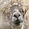 Alpacas, Camels & Llamas Looking At Me