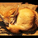 Sleeping fennec by Jörg Holtermann