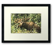 Full Bull Framed Print
