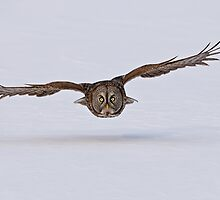 Great Gray Owl in Flight - Ottawa, Ontario by Michael Cummings
