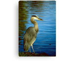 Along The Shores A Magestic Blue Heron Stands Still Canvas Print