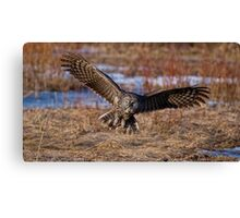 Great Gray Owl in Flight - Ottawa, Ontario - 2 Canvas Print