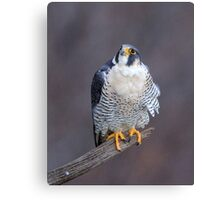 Peregrine Looking Up Canvas Print