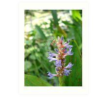 Handsome Meadow Katydid Nymph on Pickerel Weed Art Print