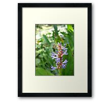 Handsome Meadow Katydid Nymph on Pickerel Weed Framed Print