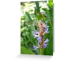 Handsome Meadow Katydid Nymph on Pickerel Weed Greeting Card