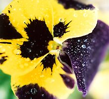 Dew Upon The Pansy by Shawnna Taylor