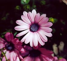 Pink And Purple Daisies - Mother Natures Finest Gift by Shawnna Taylor