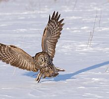 Great Grey Owl _ Dunrobin, Ontario by Michael Cummings