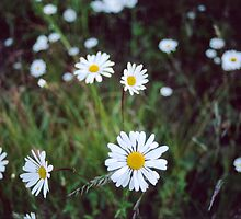 A Field Of Shasta Daisies by Shawnna Taylor