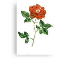 Vintage Red Rose Isolated on White Canvas Print