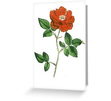 Vintage Red Rose Isolated on White Greeting Card