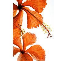 Hibiscus Falling Photographic Print