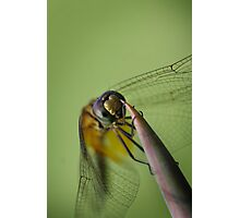 Dragonfly hanging on in the wind Photographic Print